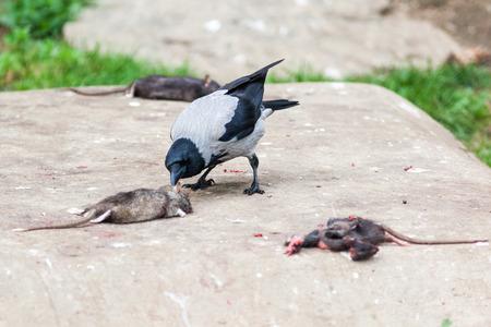 norvegicus: Corvus cornix, Hooded Crow is in the nature.