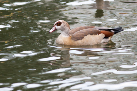 alopochen: Alopochen aegyptiacus, Egyptian Goose. Russia, The Moscow Zoo.