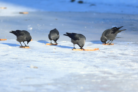jackdaw: Jackdaw (Corvus monedula) is in the nature. Stock Photo