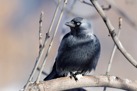 Jackdaw (Corvus monedula) is in the nature. photo