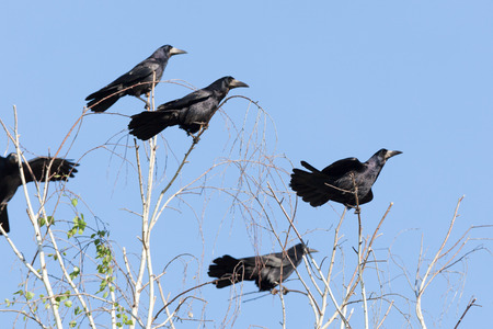frugilegus: Corvus frugilegus, Rook is in the nature.
