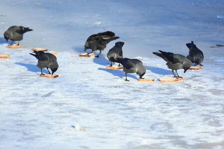 icefield: Jackdaw (Corvus monedula) is in the nature. Stock Photo