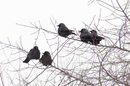 Jackdaw (Corvus monedula) is in the nature. photo