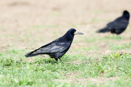 frugilegus: Russia, the Ryazan region (Ryazanskaya oblast), the Pronsky District, Denisovo. Corvus frugilegus, Rook is in the nature. Stock Photo
