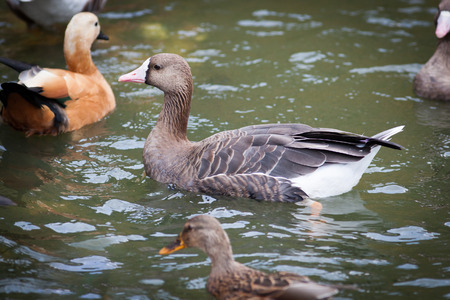 anseriformes: Anser albifrons, White-fronted Goose. Russia, The Moscow Zoo.