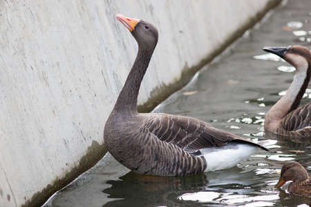 anser: Anser anser, Greylag Goose. Russia, The Moscow Zoo.