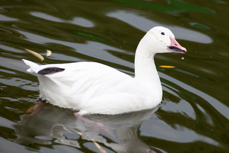 anatidae: Anser caerulescens, Chen hyperboreus, Chen caerulescens, Snow Goose. Russia, The Moscow Zoo.