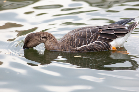 fabalis: Anser fabalis, Bean Goose. Russia, The Moscow Zoo.