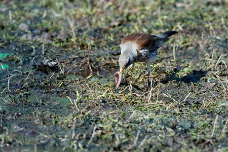 turdidae: Turdus pilaris, Fieldfare. Park Dubki, Moscow. Russia Wild bird in a natural habitat. Wildlife Photography.