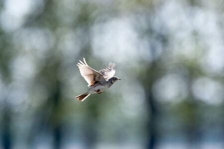 arvensis: Denisovo. Ryazan region, Pronsky area. Russia. Alauda arvensis, Skylark. Wild bird in a natural habitat. Wildlife Photography.