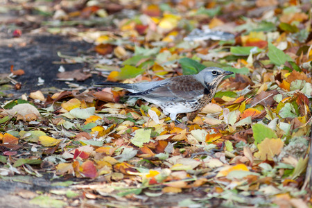turdidae: Timirjazevsky park, Moscow. Russia. Turdus pilaris, Fieldfare.  Wild bird in a natural habitat. Wildlife Photography.