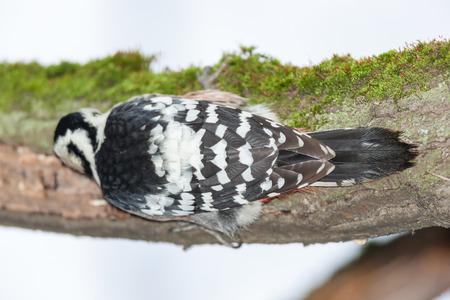 dendrocopos: Dendrocopos leucotos, White-backed Woodpecker.  Russia,  Moscow, Botanical Garden of the Russian Academy of Sciences. Stock Photo