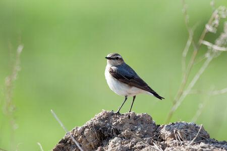 habitat: Wheatear (Oenanthe oenanthe).Wild bird in a natural habitat.