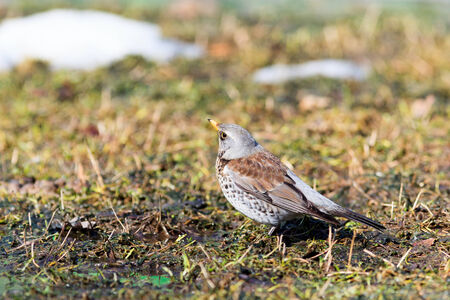 pilaris: Turdus pilaris, Fieldfare. Park Dubki, Moscow. Russia Wild bird in a natural habitat. Wildlife Photography.