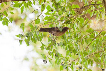 turdidae: Female of the Blackbird (Turdus merula) is in Germany. Stock Photo