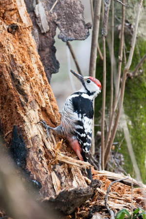 dendrocopos: Dendrocopos leucotos, White-backed Woodpecker. Russia, Moscow, Timirjazevsky park. Stock Photo