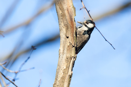 dendrocopos: Russia, Moscow, Timirjazevsky park. Dendrocopos major, Great spotted woodpecker is in a Park.