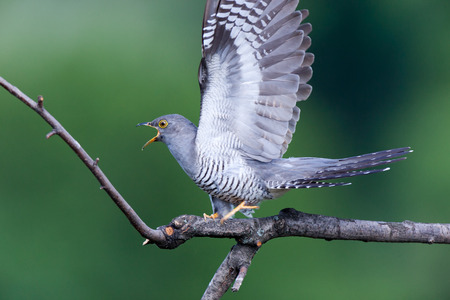 Cuculus canorus, Common Cuckoo. Wild bird in a natural habitat. Wildlife Photography. Stok Fotoğraf