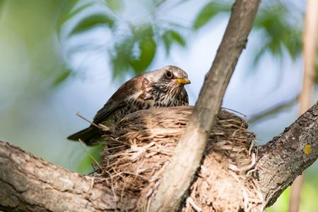 turdus: Turdus pilaris, Fieldfare.  Nest of a bird in the nature.