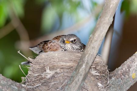 birdnest: Turdus pilaris, Fieldfare.  Nest of a bird in the nature.