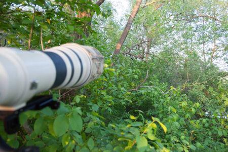 pilaris: Turdus pilaris, Fieldfare.  Nest of a bird in the nature.