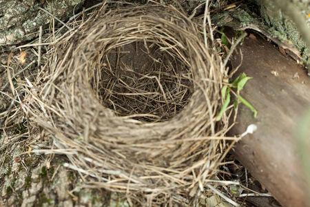 pilaris: Turdus pilaris, Fieldfare.Nest of a bird in the nature.