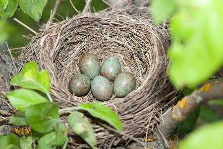 turdidae: Turdus pilaris, Fieldfare.  Nest of a bird in the nature.