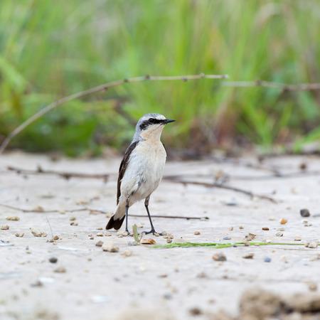 restlessness: Wheatear (Oenanthe oenanthe).Wild bird in a natural habitat.