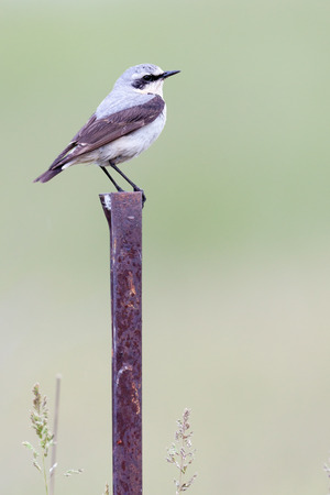 turdidae: Wheatear (Oenanthe oenanthe).Wild bird in a natural habitat.