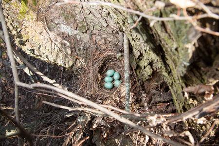 birdnest: Russia, the Ryazan region (Ryazanskaya oblast), the Pronsky District, Denisovo.  The nest of the Blackbird (Turdus merula). Stock Photo