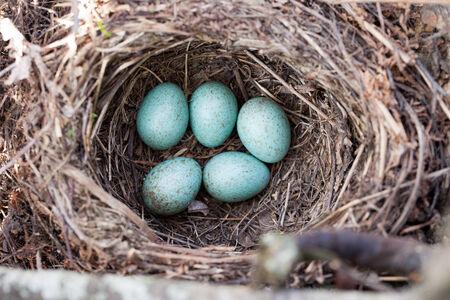 turdidae: Russia, the Ryazan region (Ryazanskaya oblast), the Pronsky District, Denisovo.  The nest of the Blackbird (Turdus merula). Stock Photo