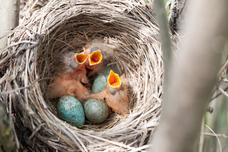 reproduction animal: Turdus pilaris, Fieldfare.  Nest of a bird in the nature.