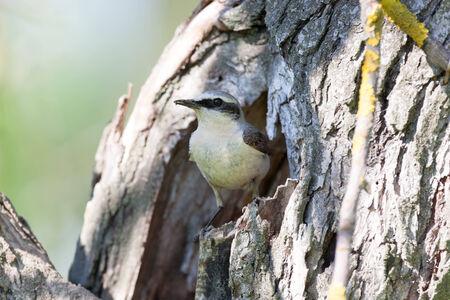nurture: Wheatear (Oenanthe oenanthe).Wild bird in a natural habitat.