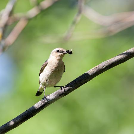 Wheatear (Oenanthe oenanthe).Wild bird in a natural habitat. photo