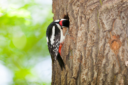 hollows: Dendrocopos major. Great Spotted Woodpecker is in Timiryazev Park in hollows with chicks. Stock Photo