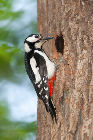 dendrocopos: Dendrocopos major. Great Spotted Woodpecker is in Timiryazev Park in hollows with chicks. Stock Photo