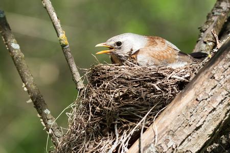 bird watching: Turdus pilaris, Fieldfare.  Nest of a bird in the nature.