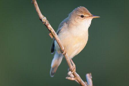 palustris: Marsh Warbler (Acrocephalus palustris).Wild bird in a natural habitat.