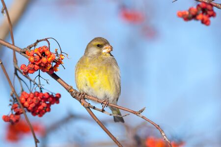 european rowan: European Greenfinch (Carduelis chloris).Wild bird in a natural habitat.