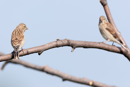 Linnet (Acanthis cannabina).Wild bird in a natural habitat. photo