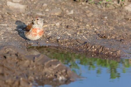 thirsty bird: Linnet (Acanthis cannabina).Wild bird in a natural habitat. Stock Photo