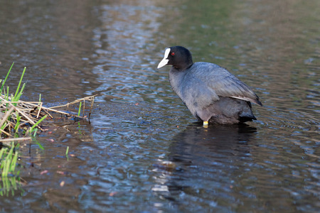 fulica: Common Coot (Fulica atra). Wildeshausen (Low Saxon: Wilshusen), Lower Saxony, Germany. Stock Photo