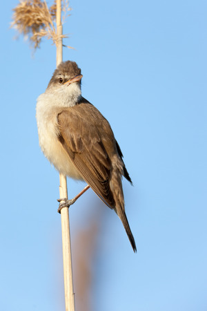 habitat: Great Reed Warbler (Acrocephalus arundinaceus).Wild bird in a natural habitat. Stock Photo