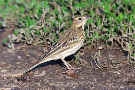 motacillidae: Tree Pipit (Anthus trivialis).Wild bird in a natural habitat.