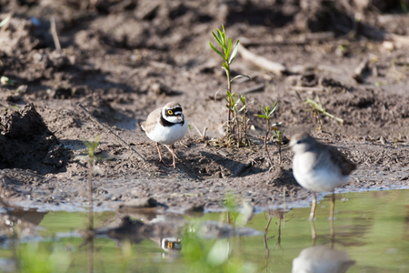 Little Ringed Plover (Charadrius dubius).Wild bird in a natural habitat. A small pond for summer watering of livestock size 40x40 meters in the field. Shot from the car window. Russia. Russia, the Ryazan region (Ryazanskaya oblast), the Pronsky District. Stock Photo