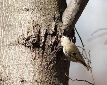 ludicrous: Goldcrest (Regulus regulus).Wild bird in a natural habitat. Timirjazevsky park, Moscow. Russia.
