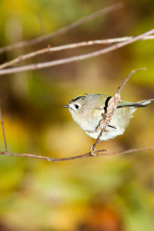 laughable: Goldcrest (Regulus regulus).Wild bird in a natural habitat. Timirjazevsky park, Moscow. Russia.