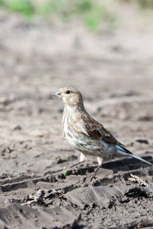 habitat: Linnet (Acanthis cannabina).Wild bird in a natural habitat. Stock Photo