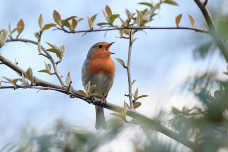 Wildeshausen (Low Saxon: Wilshusen), Lower Saxony, Germany. Robin (Erithacus rubecula).Wild bird in a natural habitat. 版權商用圖片
