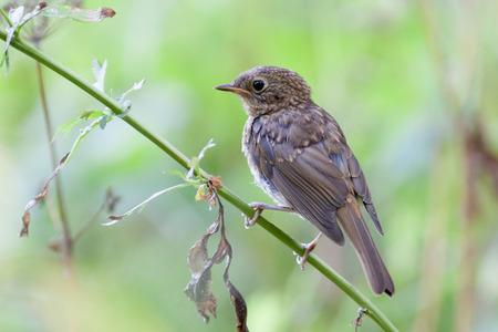 erithacus: Robin (Erithacus rubecula).Wild bird in a natural habitat.